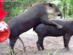 Zoophilia with tapirs having sex with another tapir