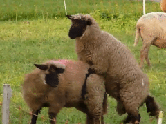 Sex between sheep and sheep zoophilia with sheep